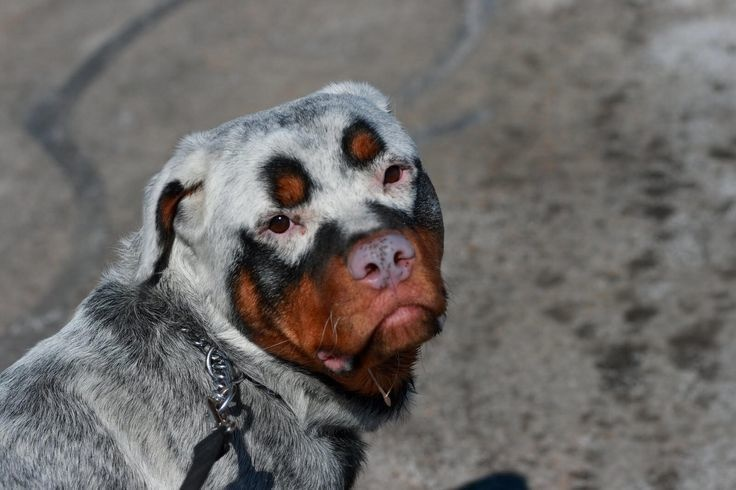 This amazing-looking Rottweiler has vitiligo, which affects the color of both his skin and his fur.