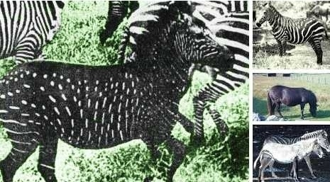 Melanism effects zebras in a particular way: instead of a black shade covering the whole body, it only effects the width of the black stripes.