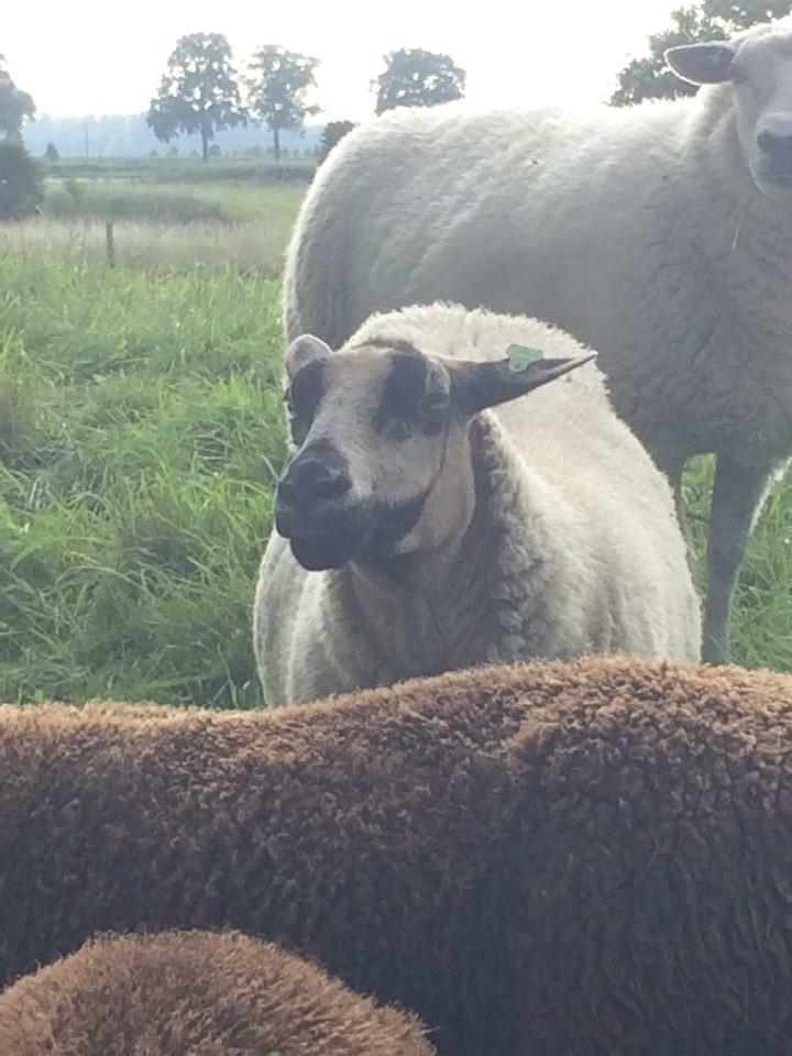 This creepy sheep looks way too much like The Joker.