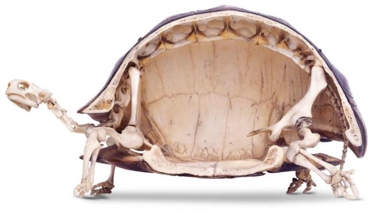 The inside of a tortoise skeleton.