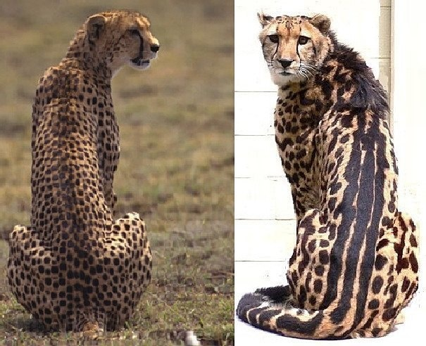 Here's a regular cheetah compared to a king cheetah: The latter are much rarer and have a very pronounced combination of spots and stripes.
