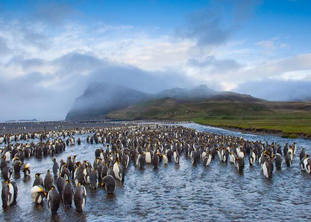 Breeding king penguins at Possession Island.