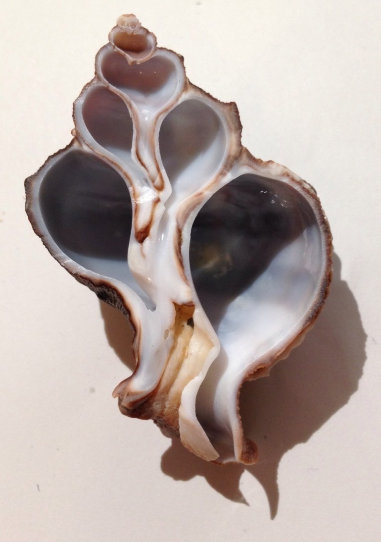 The beautiful and intricate interior of a seashell when cut in half.