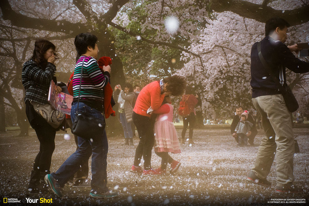 "A ""sakura blizzard"" at the park."