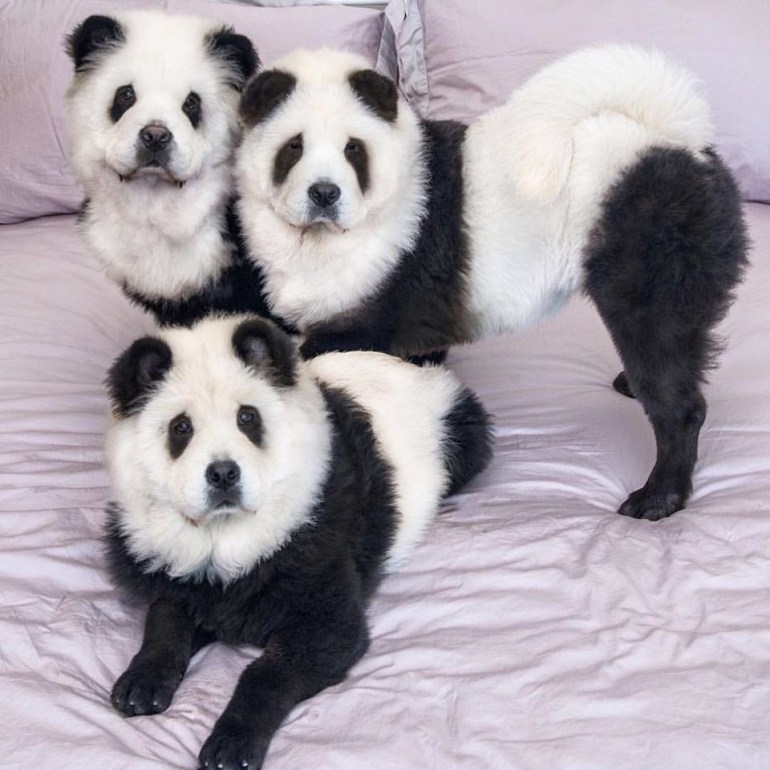 Still, the owners of the panda chow chows say the criticism is unfounded.