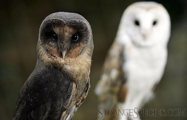 The opposite of leucism is melanism. It creates unusual coloration on an animal, seen here in this barn owl (the regular one is hanging out in the background).