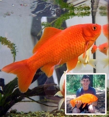 Goldie: 15 inch long goldfish from the UK.