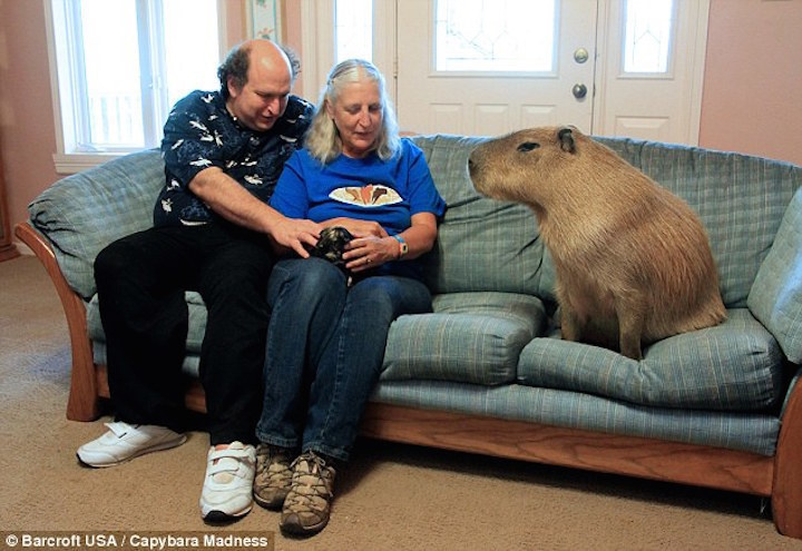 Gary: 112 pound capybara from Texas.