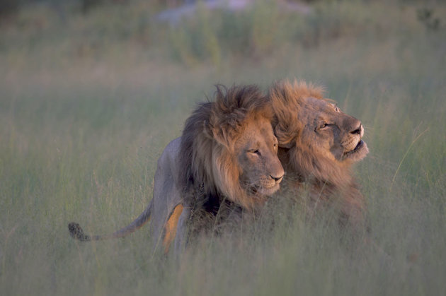 The photo of two male lions mating is making the news around the world. African lions expert, Kathleen Alexander, has another explanation; the animal in the bottom is actually a female with a mane.