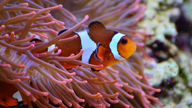 poisson clown ,tout savoir