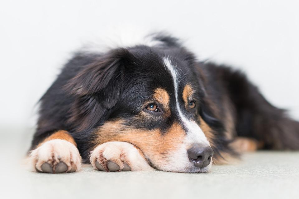 Grippe : attention votre chien peut l'attrapé aussi !