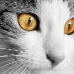 La leucose féline : signes, causes, prévention et traitement