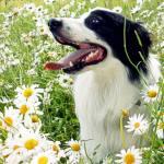Fleurs de Bach et animaux de compagnie