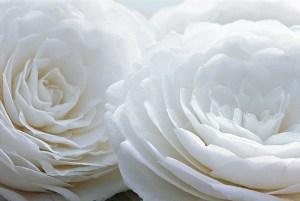 540__600x402_camellia-japonica-2