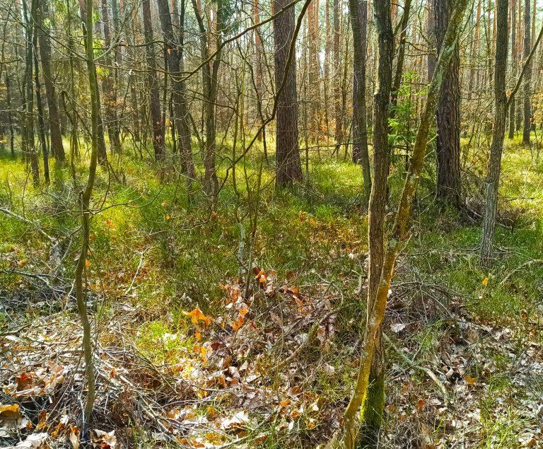 Lasy okolic Tuszyna dla zdrowia izmysłów ukojenia