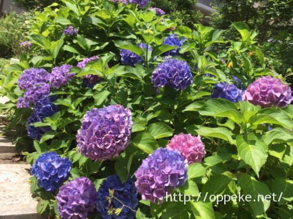 【絵手紙】紫陽花から始まる!新コーナー『箸棒頑太シリーズ』登場♪