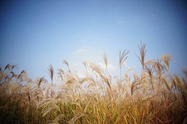 【読み聞かせ動画】金子みすゞ『すすきとお日さま』私の勝手解釈つき♪