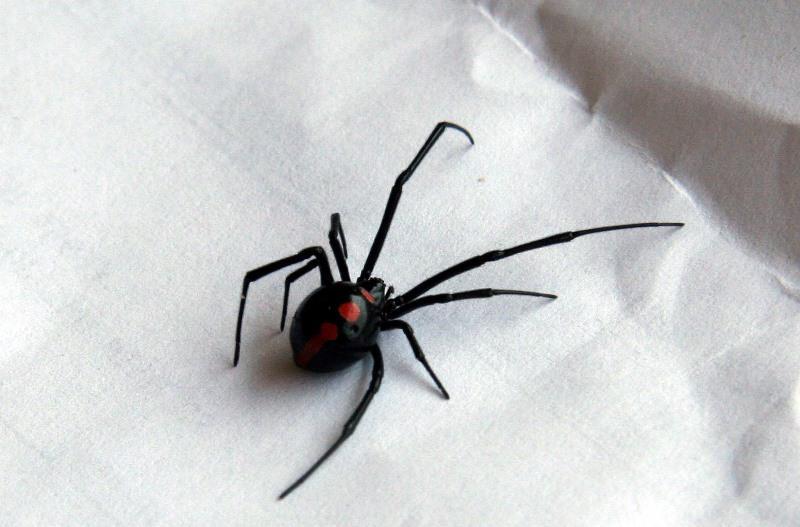 Spider Black Widow.