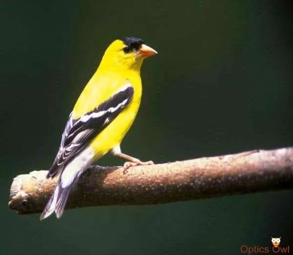 American Goldfinch - Iowa state bird
