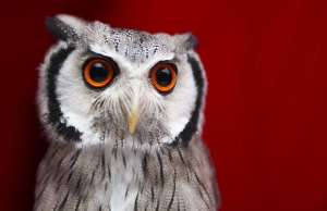White-faced owl - Credit: The Atlantic