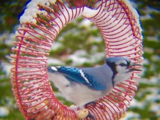 Blue on peanut wreath