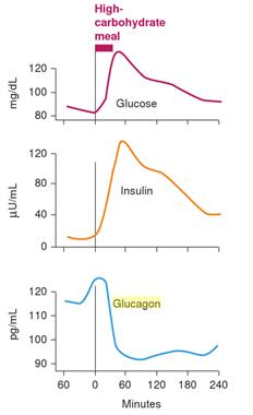 Image result for insulin glucagon protein meal