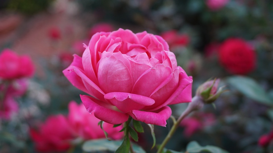 rose water for weight loss