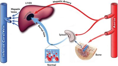 Hepatic-Portal-Circulation - WITH MARROW and cells