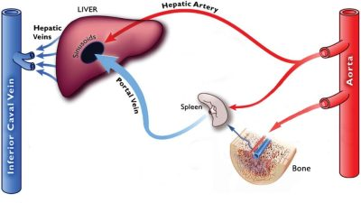 Hepatic-Portal-Circulation - WITH MARROW