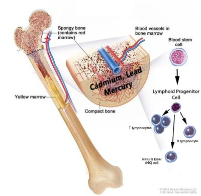 anatomy-of-the-bone-drawing-shows-spongy-bone-red-marrow-and- LYMPHOCYTES