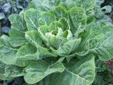 dark green leafy vegetables: collard greens