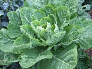 dark green leafy vegetables: collard greens