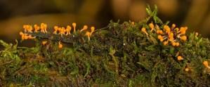 slime mold, trichia decipiens, amoeba