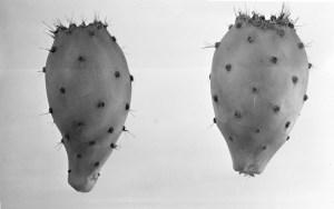 Opuntia gymnocarpa 7363