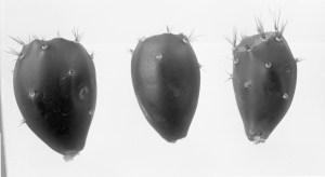 Opuntia lucens 7404