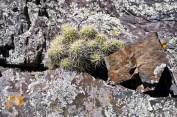 Echinocereus with growing near lichens