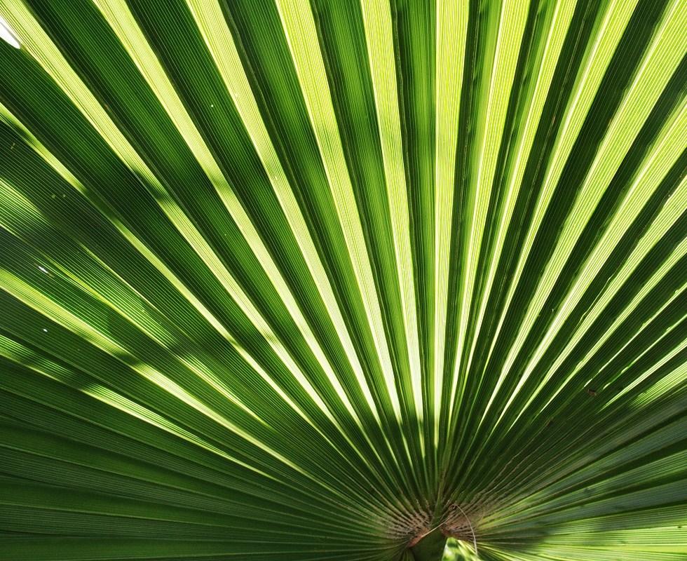 Washingtonia filifera leaf, Lance