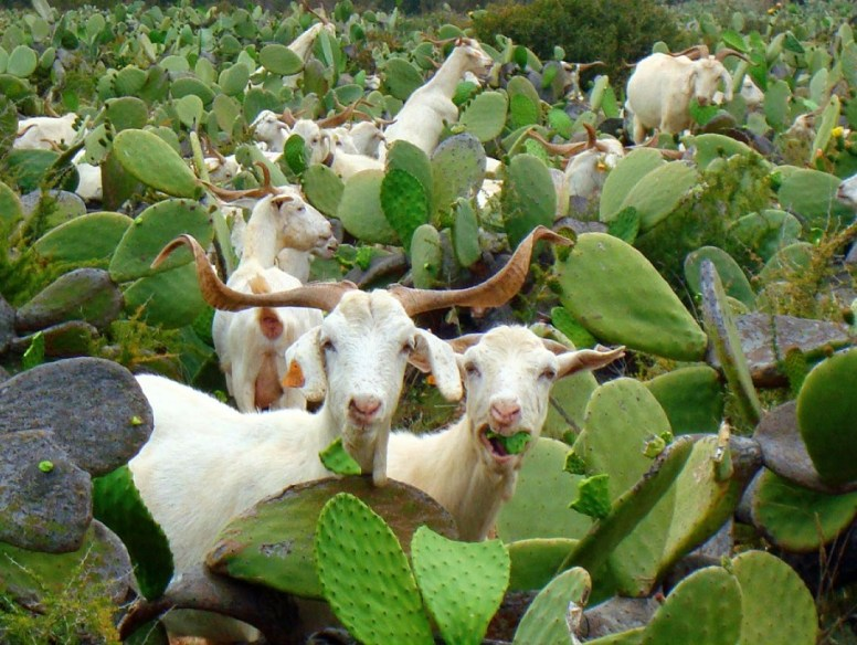 Goats and prickly pear cacti