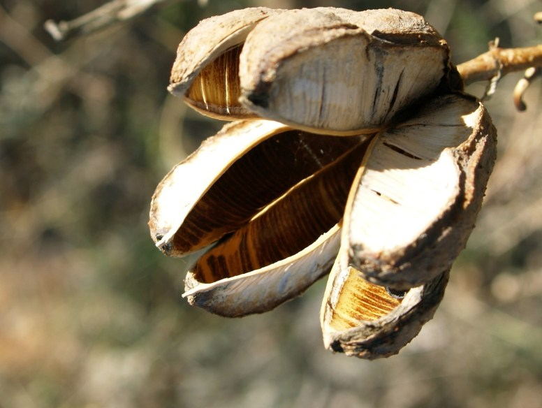 Yucca seed pod, Aiden Grey