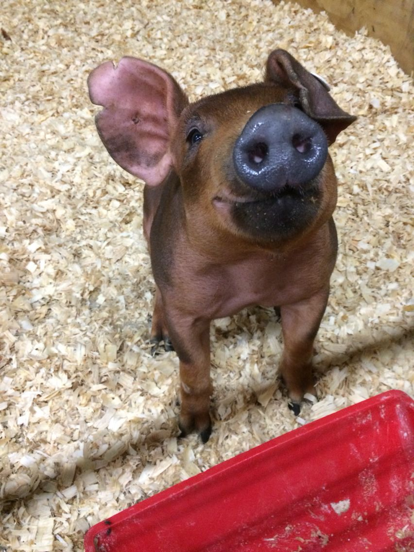 Better Behaved Pigs and Opunia | OBLOG