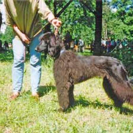 Тайган Гульджи, 10 мес. сука, от Урзы Юдиной Г.В.