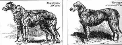 Дирзаунды и ирландский волкодав XIX века