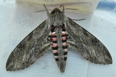 Convolvulus Hawk-moth. Photo credit: Tony Morris www.flickr.com/photos/tonymorris. Image unchanged and used under Creative Commons Licensing