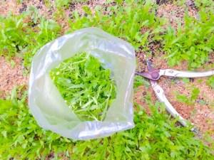 春菊 菊菜