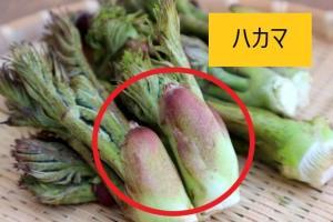 犬 タラの芽 食べる 与える 山菜 大丈夫