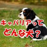 キャバリア 犬