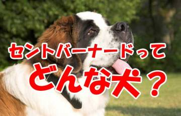 セントバーナード 犬