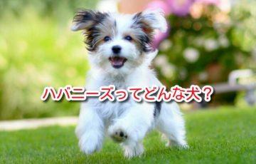 ハバニーズ 犬 ハバニーズ