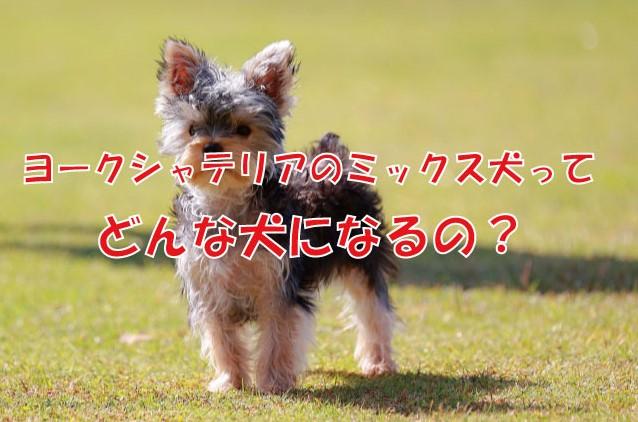 犬 ヨークシャテリア ミックス犬