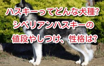 ハスキー 犬 シベリアンハスキー